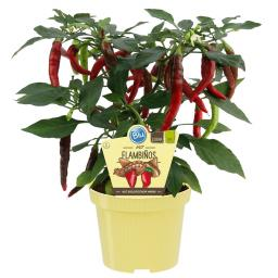 Blu Bio-Gemüsepflanze Chili Flambiños