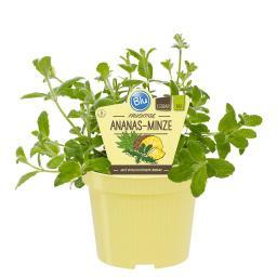 Blu Bio-Kräuterpflanze Ananasminze