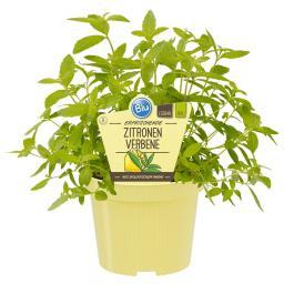 Blu Bio-Kräuterpflanze Zitronenverbene