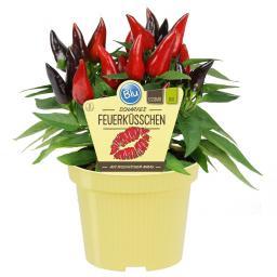Blu Bio-Gemüsepflanze Chili Feuerküsschen