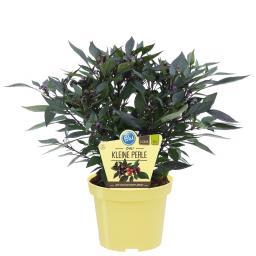 Blu Bio-Gemüsepflanze Kleine Perlen Chili
