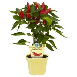 Blu Bio-Gemüsepflanze Snack Chili