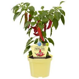 Blu Bio-Gemüsepflanze Zwerg Chili