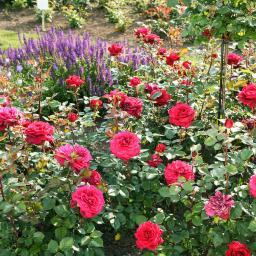 Edelrose Bellevue, im ca. 17 cm-Einpflanz-Topf