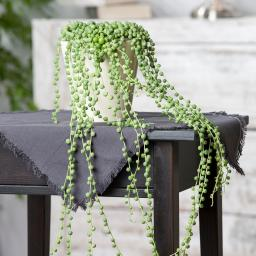 Erbsenpflanze, Ampel