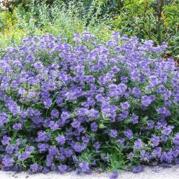Bartblume Grand Blue®