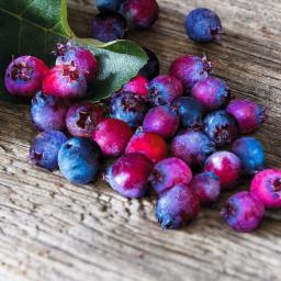 Saskatoonbeere  Saskatoon Berry®, im ca. 21 cm-Topf