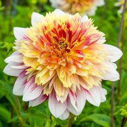 Anemonenblütige Dahlie Garden Show