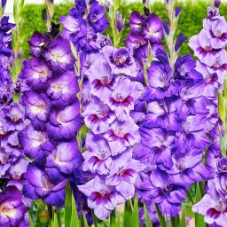 Gladiolen-Mischung Violetter Garten