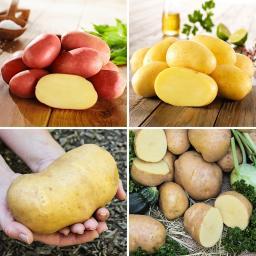 Kiepenkerl Kartoffel-Quartett Reifezeit-Spezialitäten, 12 Stück
