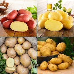 Kartoffel-Quartett Reifezeit-Spezialitäten, 12 Stück