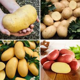 Kiepenkerl Kartoffel-Quartett Grillkartoffeln, 12 Stück