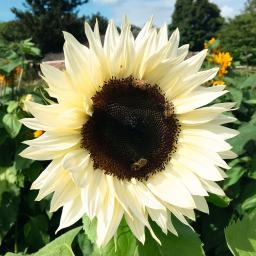 Sonnenblumensamen ProCut® White Nite F1