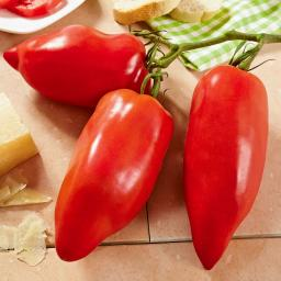 Gemüsepflanze Andenhörnchen Tomate, veredelt, im ca. 12 cm-Topf