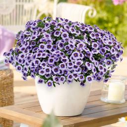Zauberglöckchen Eyeconic™ Purple, im ca. 12 cm-Topf