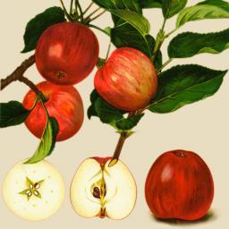 Apfel Jonathan, im ca. 28 cm-Topf