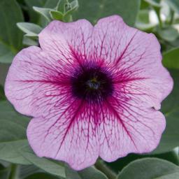 Riesenhängepetunie AlpeTunia® Pink Vein, im ca. 12 cm-Topf