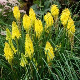 Gelbe Fackellilie