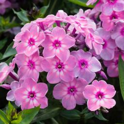 Phlox Rainbow Dancer