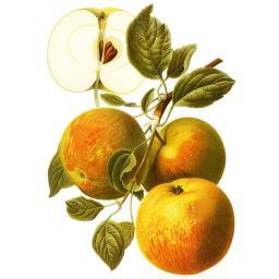 Apfel Cox Orange, im ca. 23 cm-Topf