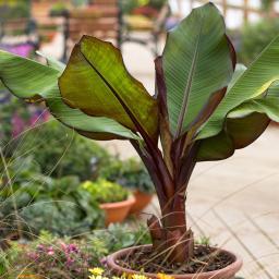 Rote Bananenpflanze, im ca. 11 cm-Topf