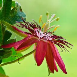 Purpur Passionsblume