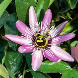 Purpur Passionsblume, im ca. 9 cm-Topf