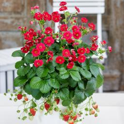 Rotblütige Balkon-Erdbeere, im ca. 11 cm-Topf