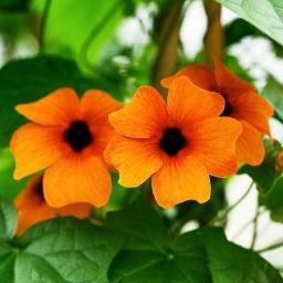 Orange Schwarzäugige Susanne