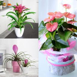 Zimmerpflanzen-Sortiment Rosa Wohnzimmer