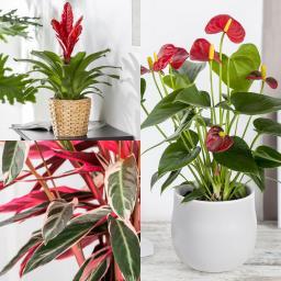 Zimmerpflanzen-Set Rotes Wohnzimmer