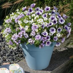 Trio Confetti Garden™ Blue Bird, im ca. 12 cm-Topf
