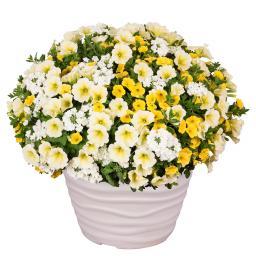 Trio Confetti™ Garden Sunshine, im ca. 12 cm-Topf
