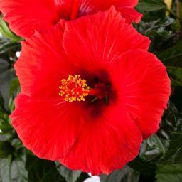 Roter Hibiskus-Stamm, 19 cm-Topf