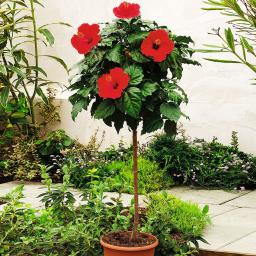 Roter Hibiskus-Stamm, im ca. 19 cm-Topf