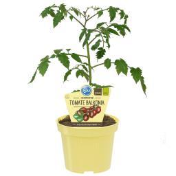 BLU Bio-Tomate Balkonia