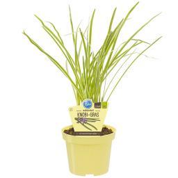 BIO Kräuterpflanze Knobi-Gras, im ca. 12 cm-Topf