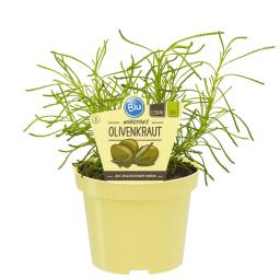 BIO Kräuterpflanze Würziges Olivenkraut, im ca. 12 cm-Topf