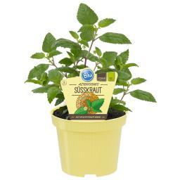 BIO Kräuterpflanze Aztekisches Süsskraut, im ca. 12 cm-Topf
