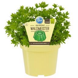BIO Kräuterpflanze Waldmeister, im ca. 12 cm-Topf