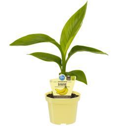 BIO Obstpflanze Winterharte Banane, im ca. 12 cm-Topf