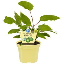 BIO Obstpflanze Mini-Kiwi männlich, im ca. 12 cm-Topf
