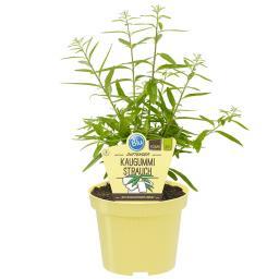 BIO Kräuterpflanze Duftender Kaugummi Strauch, im ca. 12 cm-Topf