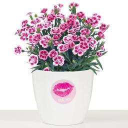 Sortiment Nelke Pink Kisses®, im ca. 11 cm-Topf, inklusive Scheurich Keramik-Übertopf, rund, 11,5x13x13 cm