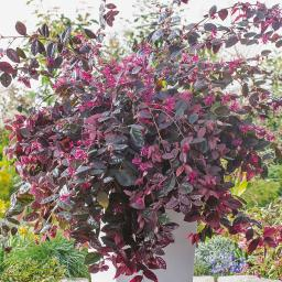 Riemenblüte Ever Red, im ca. 28 cm-Topf
