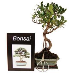 Bonsai Anfänger-Set - Kleine tropische Feige