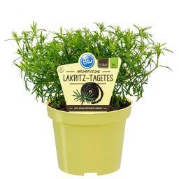 BIO Kräuterpflanze Lakritz-Tagetes, im ca. 12 cm-Topf
