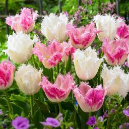 Tulpen-Mischung  Cotton Candy