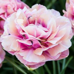 Tulpe Aveyron