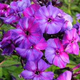 Phlox Autumn Joy